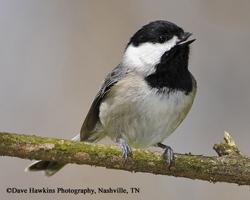 Redwood Vs Cedar >> Tennessee Watchable Wildlife   Woodworking for Wildlife - Carolina Chickadee