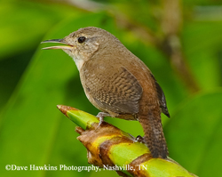 Tennessee Watchable Wildlife | Woodworking for Wildlife - House Wren