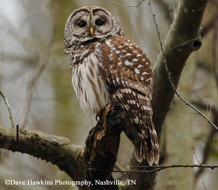 Tennessee Watchable Wildlife   Barred Owl - Habitat: WATER