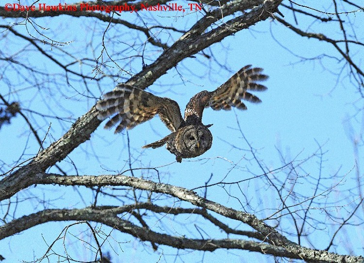Tennessee Watchable Wildlife | Barred Owl - Habitat: WATER