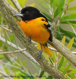 Baltimore Oriole 1