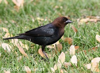 Brown-headed Cowbird 1
