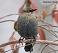 Rusty Blackbird 10