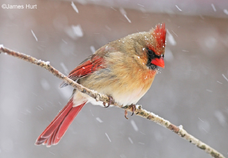 Tennessee Watchable Wildlife Northern Cardinal Habitat Forest