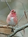 Purple Finch 10