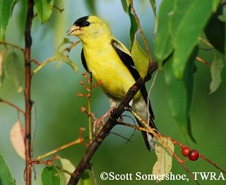 American Goldfinch 1