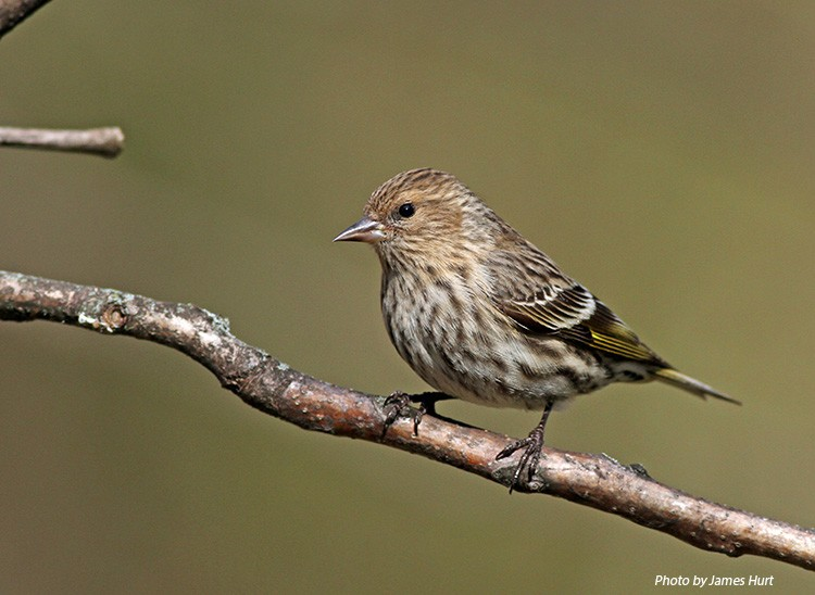 Forest Siskin - Wildlife Watchable Pine Tennessee Habitat