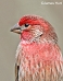 House Finch 10