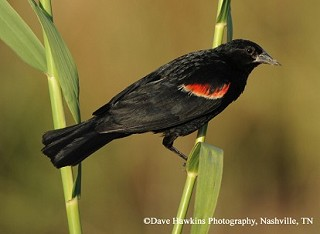 Red-winged Blackbird 1