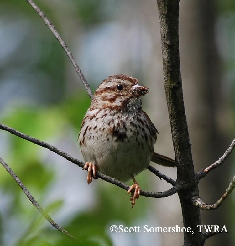 Tennessee Watchable Wildlife | Song Sparrow - Habitat: GRASSLAND