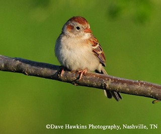 Field Sparrow 1