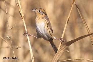 Le Conte's Sparrow 1