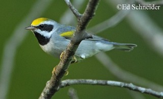 Golden-winged Warbler 1
