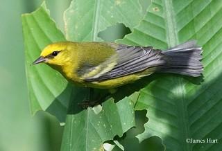 Blue-winged Warbler 1