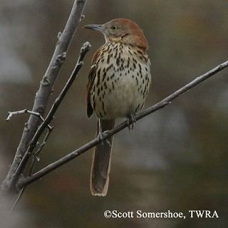 Brown Thrasher 1