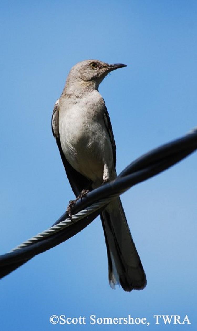 Tennessee Watchable Wildlife | Northern Mockingbird - Habitat: GRASSLAND