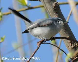 Blue-gray Gnatcatcher 1