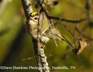 Golden-crowned Kinglet 1