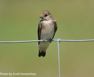 Northern Rough-winged Swallow 1