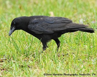 Fish Crow 1