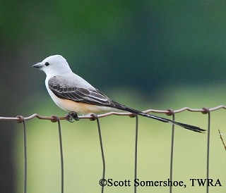 Scissor-tailed Flycatcher 1
