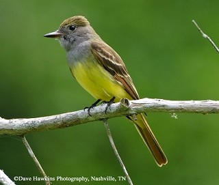 Great Crested Flycatcher 1