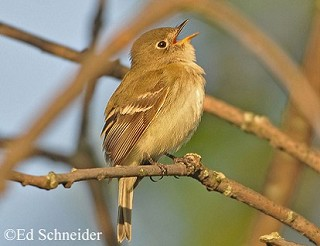 Least Flycatcher 1