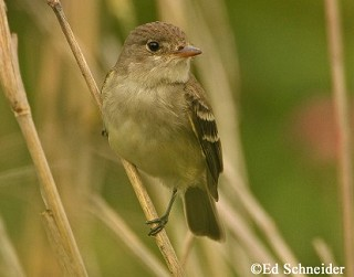 Willow Flycatcher 1
