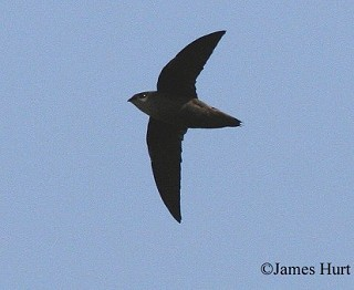 Chimney Swift 1