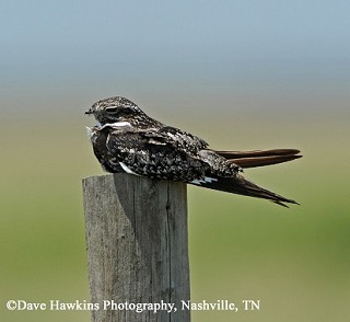 Common Nighthawk 1