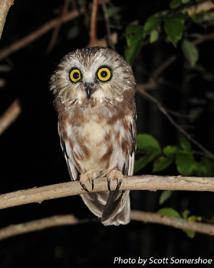 tennessee watchable wildlife northern saw whet owl habitat forest