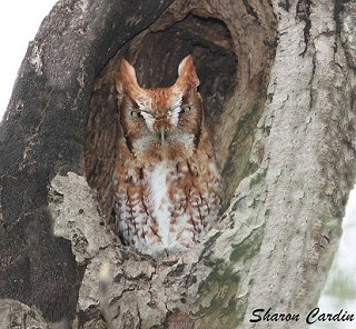 Eastern Screech-Owl 1