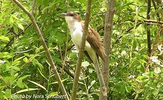 Black-billed Cuckoo 1