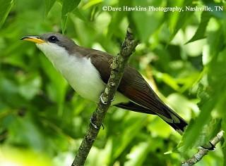 Yellow-billed Cuckoo 1