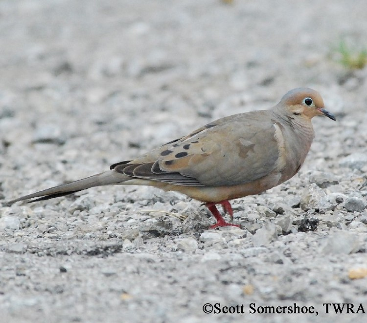Tennessee Watchable Wildlife | Mourning Dove - Habitat: 1