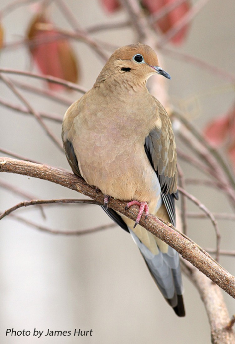 Tennessee Watchable Wildlife | Mourning Dove - Habitat: FOREST