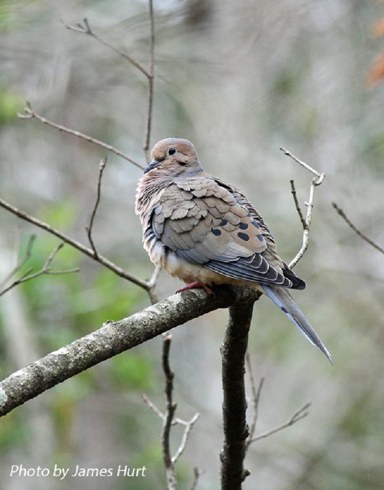 Mourning Dove Información y datos