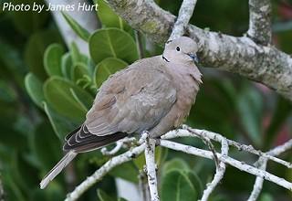 Eurasian Collared-Dove 1