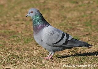 Rock Pigeon 1