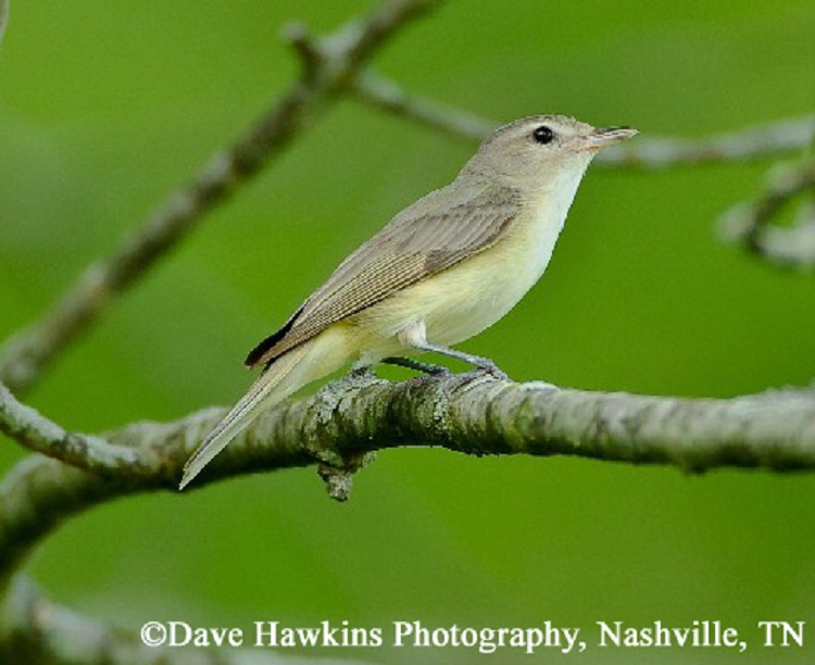 Tennessee Watchable Wildlife | Warbling Vireo