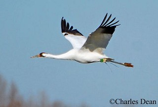 Whooping Crane 1