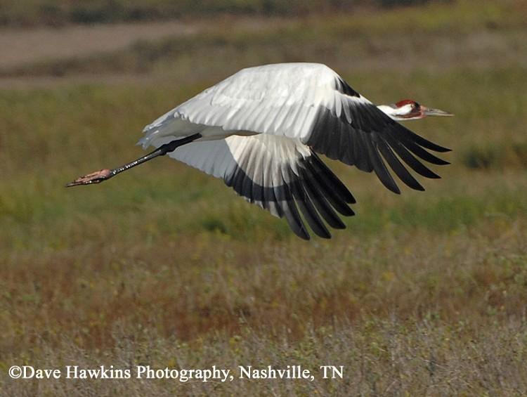 Tennessee Watchable Wildlife   Whooping Crane - Habitat: WATER