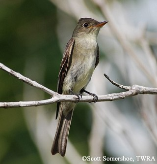Eastern Wood-Pewee 1