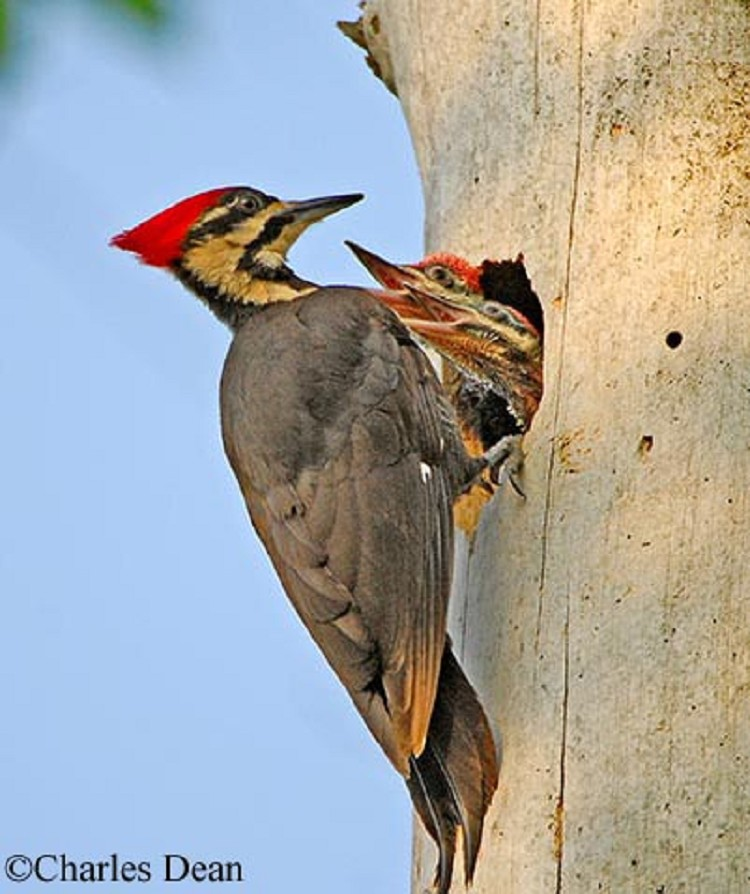 Tennessee Watchable Wildlife   Pileated Woodpecker ...