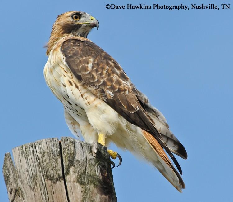 tennessee watchable wildlife red tailed hawk habitat grassland