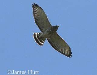 Broad-winged Hawk 1