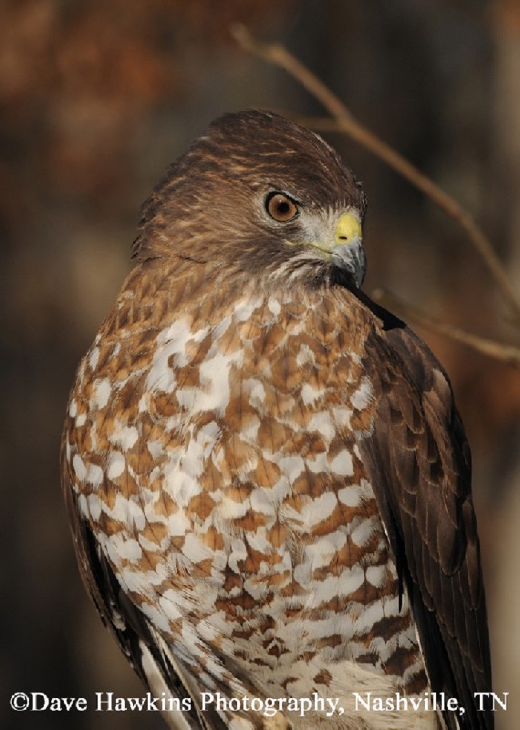 Best 28+ - Types Of Hawks In Tennessee - discover birds ...