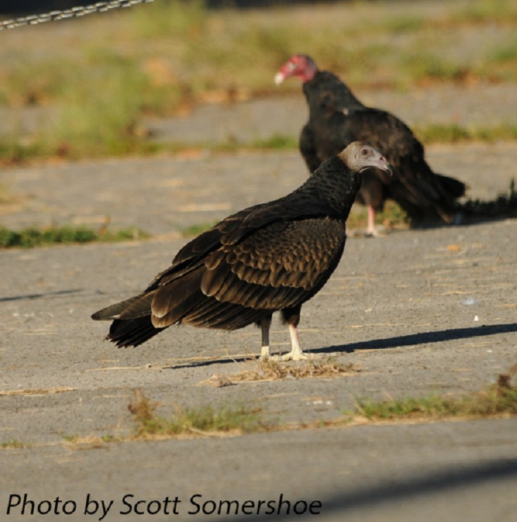 Tennessee Watchable Wildlife | Turkey Vulture - Habitat: 1