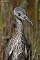 Yellow-crowned Night-Heron 10