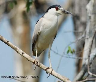 Black-crowned Night-Heron 1